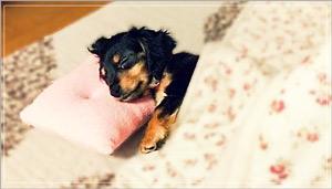 背中の毛が焦げる、赤外線で目にダメージを受ける、脱水症状や熱中症を起こすなど、愛犬が全身を潜らせてしまうことでの暖房トラブルが起きやすいこたつ
