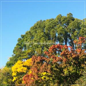 色づき始めた六義園内の大木