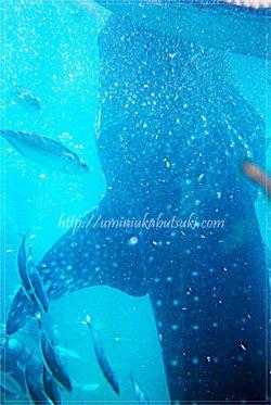 漁師さんの手元から直接餌を食べようとして縦に泳ぐジンベイザメ。
