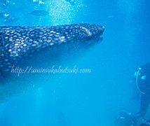 なぜ確率99%も?セブ島ジンベイザメと泳ぐツアーが女子旅行に人気の秘密は?