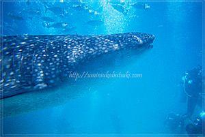 セブ島オスログでの「ジンベイザメと泳ぐツアー」は、ほぼ100%に近い確率でツアーが成功するスポット。
