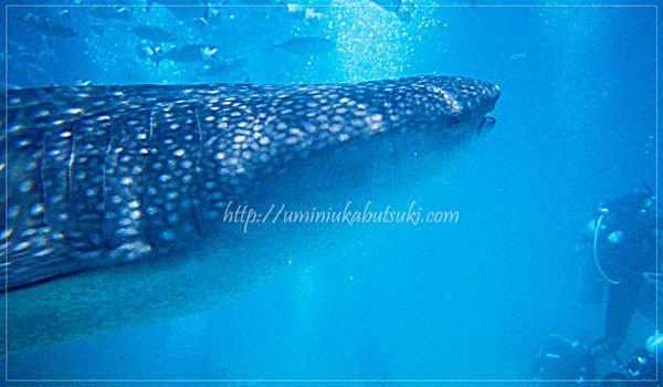 確率99%で出会えるセブ島オスロブのジンベイザメと泳ぐツアー