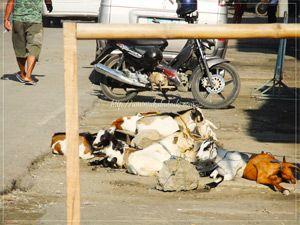 フィリピンの街頭で食用として売られるヤギたち
