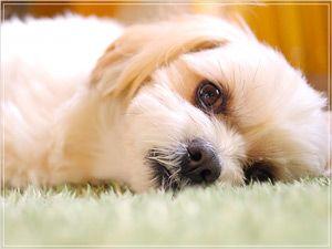 犬の花粉症の主な症状はは、皮膚に強く現れます。