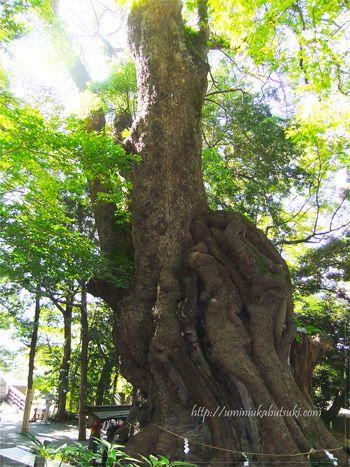来宮神社の御神木として祀られている、樹齢2,000年以上にもなる大木の楠