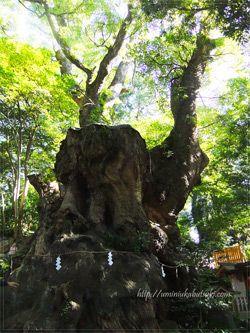 誰にも打ち明けず大木の回りを一周しながら願い事をすると叶うと言うパワースポットの来宮神社