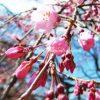 都内のしだれ桜の名所「六義園」、2017年開花状況と混雑回避の方法は?