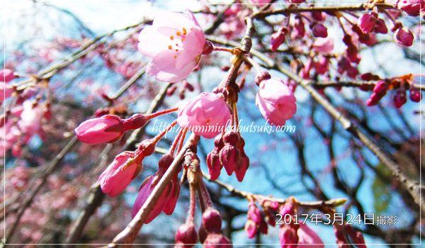 都内のしだれ桜の名所「六義園」の2017年開花状況と混雑回避の方法をご紹介