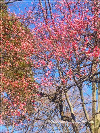 都内で季節の移り変わりを感じることができる名所「六義園」での、その他の花々の開花状況。
