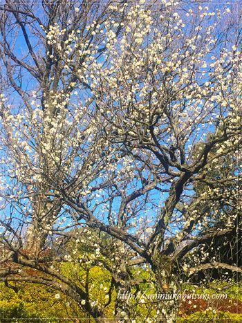初春を祝うかのように咲く六義園の花。