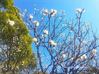 この時期、六義園ではオトメツバキ、紅梅、アセビなどの花が楽しめる。