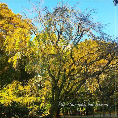 2016年11月に撮影した六義園のしだれ桜の樹。幅が約17m、高さは13mもある。