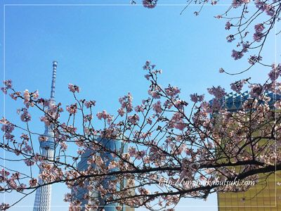 スカイツリーと一緒に桜の写真が取れるスポットとして大人気の隅田公園の桜は、今週末あたりが満開に。