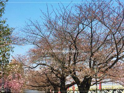 隅田公園の桜の開花状況は、現在のところ5部咲きほど。