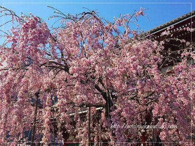 雷門をくぐって仲見世通りを抜けた先にある「宝蔵門(仁王門)」に向かって右脇には、今、しだれ桜が咲きほこっている。