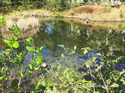 カワセミが巣作りをするすぐ目の前の池で寛ぐカルガモ。