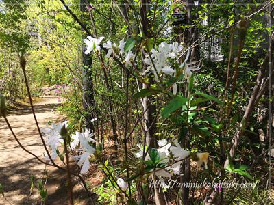 山林を歩きながらツヅジを鑑賞している気分になれる散歩道。