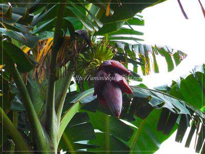 語学学校の建物の後ろに立っていたバナナの樹と花。
