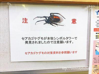 大黒海釣り施設から少し離れた本牧海釣り施設で発見されたセアカゴケグモ。