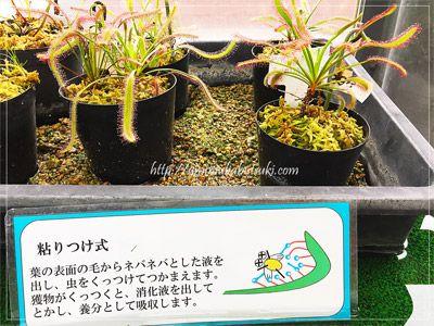 夢の島熱帯植物館には食虫植物だけを集めたハウスがある。