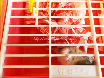 掃除中は、別の箱に移動しているジャンガリアンハムスターの様子。