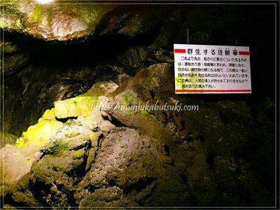 珍しい珪酸華(けいさんか)の群生地。通称光り苔とも呼ばれる。