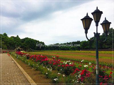 茨城県にある「こもれび森のイバライド」の花畑風景。