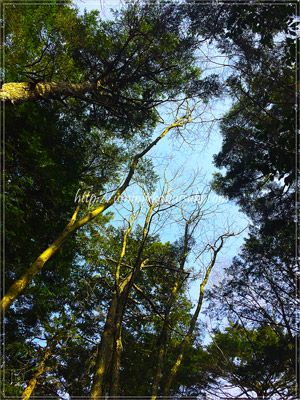東海自然歩道から空を見上げると、森の中にいるのを実感できる。