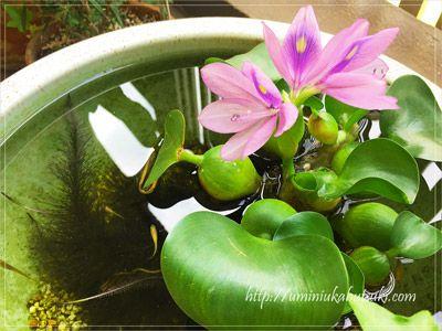 初夏に可愛い花が咲くホテイアオイの根はメダカの産卵床に最適。