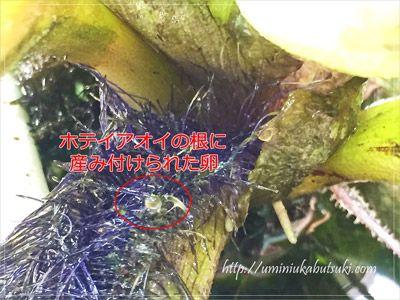ホテイアオイの根に産み付けられたメダカの卵。