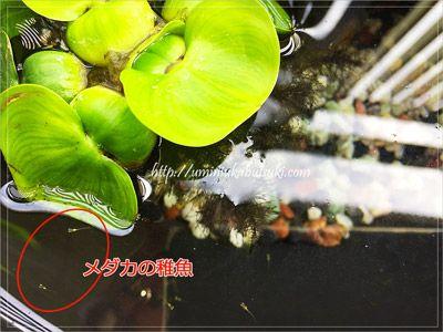 メダカの親と卵とは別に、稚魚だけの水槽を用意。