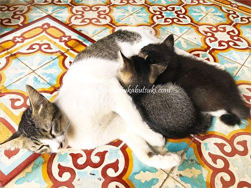 マラッカの静かなホテルで暮らす猫の親子は宿泊客の人気もの
