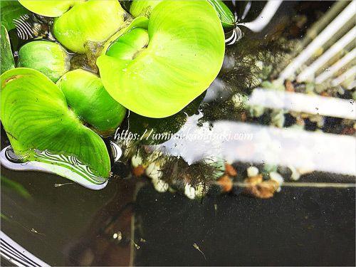 睡蓮鉢の中を泳ぐヒメダカの稚魚