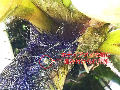 産卵床のホテイアオイの根に産み付けられたメダカの卵